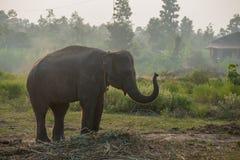 Elefante asiatico nella foresta, surin, Tailandia Fotografia Stock Libera da Diritti