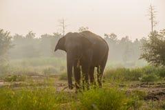 Elefante asiatico nella foresta, surin, Tailandia Fotografie Stock Libere da Diritti