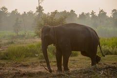 Elefante asiatico nella foresta, surin, Tailandia immagini stock libere da diritti