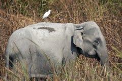 Elefante asiatico nella sosta nazionale di Kaziranga Fotografia Stock Libera da Diritti