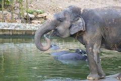 Elefante asiatico o elefante asiatico & x28; Maximus& x29 del Elephas; acqua della bevanda Immagine Stock Libera da Diritti