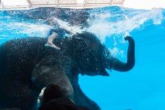 Elefante asiatico o nuoto asiatico dell'elefante nell'acqua grande del gabinetto di vetro Fotografie Stock