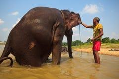 Elefante asiatico pericoloso che ottiene le orecchie lavate Fotografie Stock
