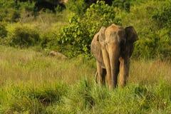 Elefante asiatico selvaggio Fotografie Stock Libere da Diritti