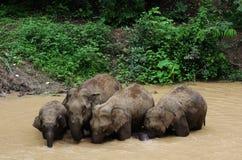 Elefante asiatico selvaggio Immagine Stock Libera da Diritti