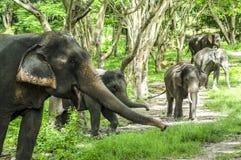 Elefante asiático en bosque Fotos de archivo libres de regalías