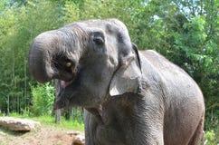 Elefante assetato Immagine Stock