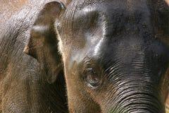 Elefante bagnato Immagine Stock Libera da Diritti
