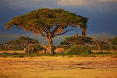 Elefante bajo un árbol Fotografía de archivo libre de regalías