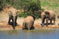 Elefante bebendo fotos de stock