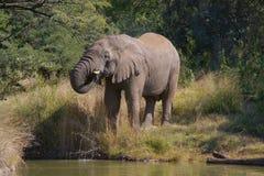 Elefante bebendo fotografia de stock