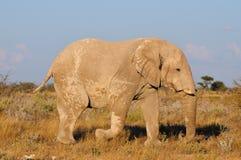 Elefante blanco, parque nacional de Etosha, Namibia Fotos de archivo libres de regalías