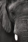 Elefante blanco y negro Imagen de archivo libre de regalías