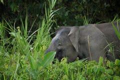 Elefante Bornéu do pigmeu imagem de stock