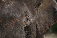 Elefante Bornéu do pigmeu Fotos de Stock Royalty Free