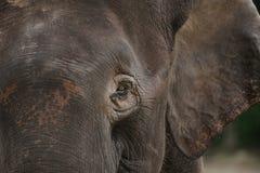Elefante Bornéu do pigmeu fotos de stock royalty free