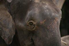 Elefante Bornéu do pigmeu fotografia de stock