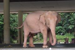 Elefante branco real Foto de Stock Royalty Free