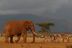 Elefante Bull Imagen de archivo libre de regalías