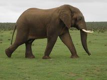 Elefante Bull Immagini Stock
