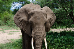 Elefante cansado Foto de archivo