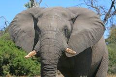 Elefante cara a cara foto de archivo libre de regalías