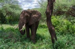 Elefante cerca del árbol Fotos de archivo libres de regalías