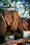 Elefante cercado na selva próximo de Luang Prabang, Laos fotografia de stock