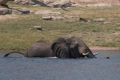 Elefante che attraversa il fiume di Chobe nel Botswana immagini stock libere da diritti