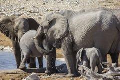 Elefante che bagna la Namibia Fotografie Stock