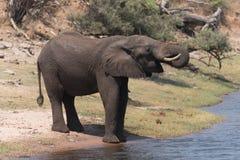 Elefante che beve al fiume di Chobe nel Botswana fotografia stock