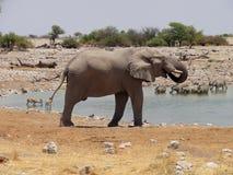Elefante che beve dall'oasi Immagini Stock Libere da Diritti
