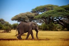 Elefante che cammina attraverso la savana Fotografie Stock