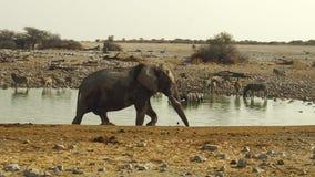 Elefante che cammina nel parco nazionale di Etosha stock footage