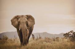 Elefante che cammina nel selvaggio Immagini Stock