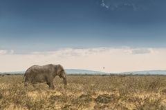 Elefante che cammina nella savana con luce solare nafta l'africa fotografia stock