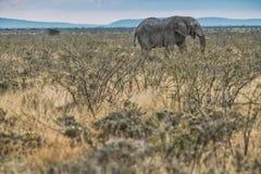 Elefante che cammina nella savana con luce solare nafta l'africa fotografia stock libera da diritti