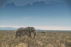 Elefante che cammina nella savana con luce solare nafta l'africa immagine stock