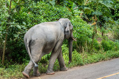 Elefante che cammina su una strada non asfaltata vicino al forestThailand Fotografie Stock Libere da Diritti