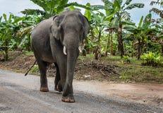 Elefante che cammina su una strada non asfaltata vicino al forestThailand Fotografia Stock