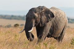 Elefante che cammina sulla savanna Fotografia Stock