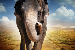 Elefante che cammina sulla strada immagini stock libere da diritti