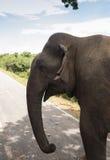 Elefante che cammina sulla strada al tramonto Immagine Stock
