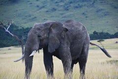 Elefante che cammina sulla tundra in Africa, Kenya Immagini Stock Libere da Diritti