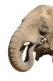 Elefante che gioca con il bastone Fotografie Stock Libere da Diritti