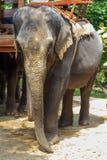 Elefante che guarda alla macchina fotografica Fotografie Stock