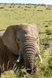 Elefante che guarda e che mangia sui rami Fotografia Stock Libera da Diritti