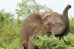 Elefante che ha pranzo Fotografie Stock
