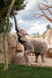 Elefante che mangia da un albero Immagine Stock