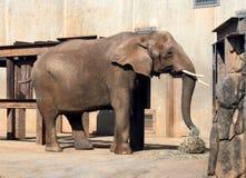 Elefante che mangia fieno Fotografie Stock